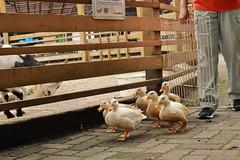 宝登山小動物公園☆ダックウォーク