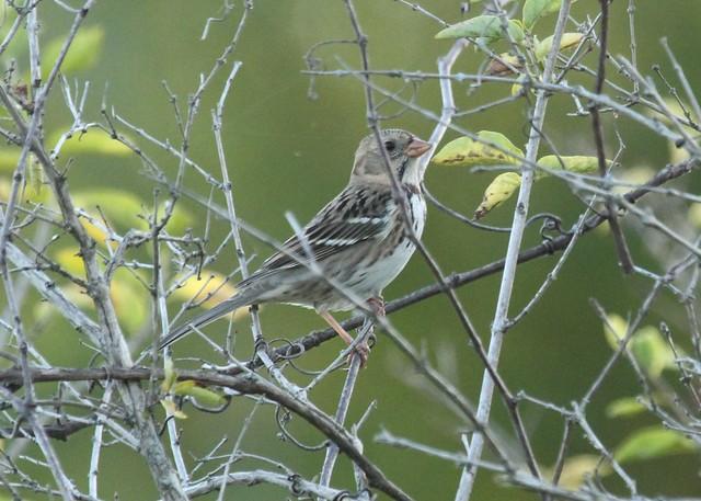 Harris's Sparrow at Grant Park Beach