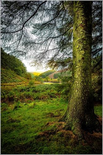 Pine | Upper Derwent Valley | Peter Juerges | Flickr