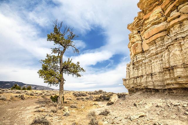 Limber Pine By Cliffs