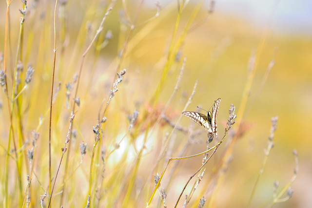 Butterfly and autumnal lavender,