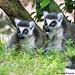 "<p><a href=""https://www.flickr.com/people/hrother/"">Harry Rother</a> posted a photo:</p>  <p><a href=""https://www.flickr.com/photos/hrother/50430994131/"" title=""A Pair of Ring-tailed Lemurs""><img src=""https://live.staticflickr.com/65535/50430994131_4386e26d3e_m.jpg"" width=""240"" height=""240"" alt=""A Pair of Ring-tailed Lemurs"" /></a></p>  <p>Disney Animal Kingdom</p>"