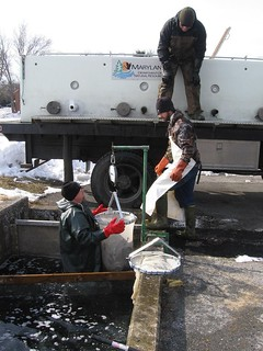 Photo of a DNR crew stocking trout in a creek