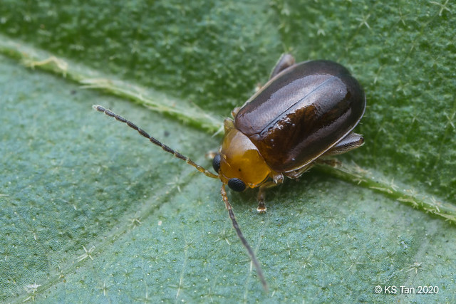 Leaf Beetle (Chrysomeloidea: Alticini: Hemipyxis sp.) 2G1A6433