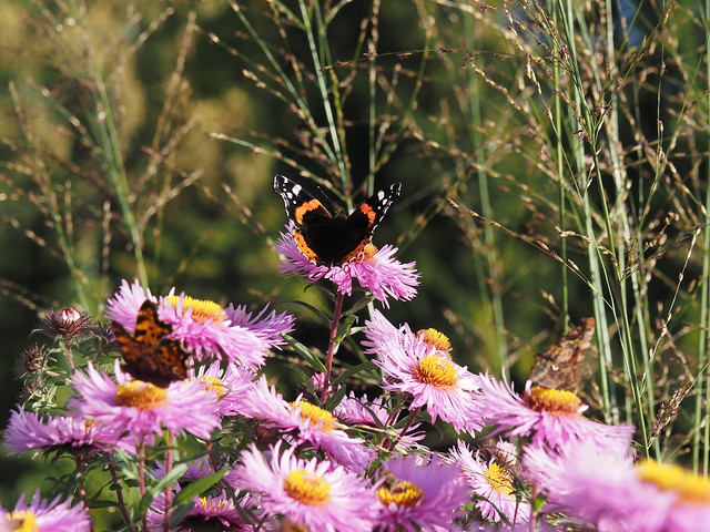 Butterflies & Symphyotrichum novae-angliae
