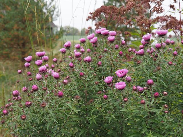 Symphyotrichum novae-angliae'