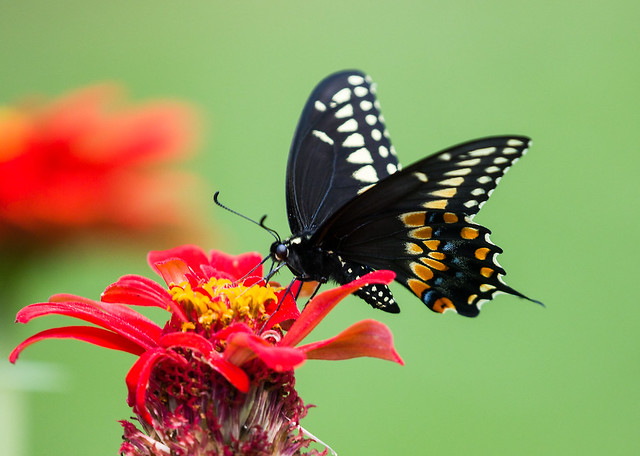 0P7A5694   Black Swallowtail Butterfly, Canada