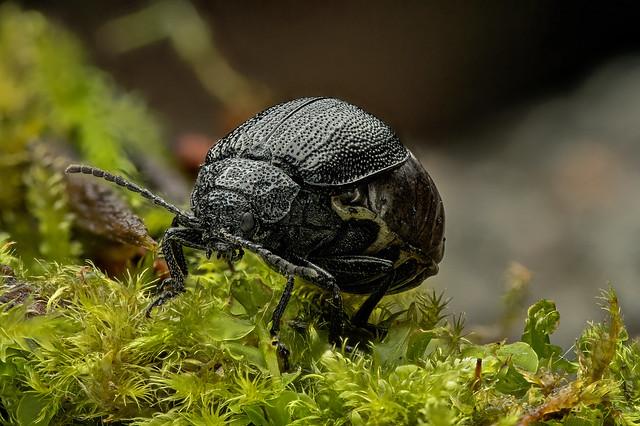 Rainfarn-Blattkäfer (Galeruca tanaceti)