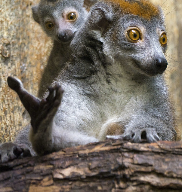 Cleveland Metroparks Zoo 09-06-2019 - Crowned Lemur 7