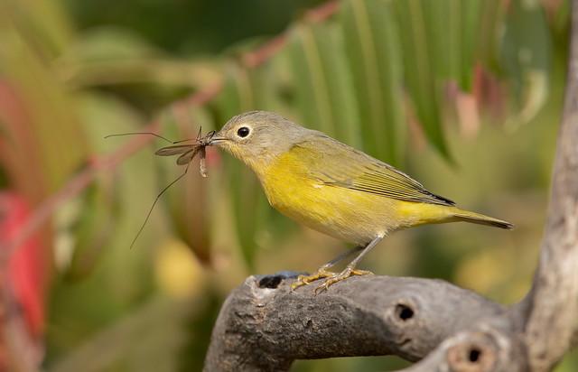 Nashville warbler with cranefly prey
