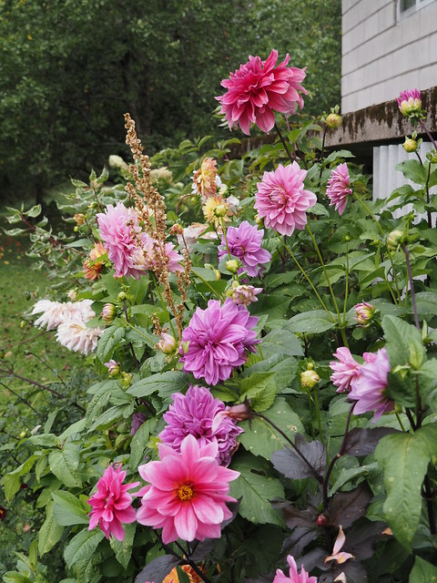 Dahlia 'Fascination' & 'Lilac Time'