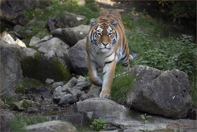 Amur tigress in all her beauty