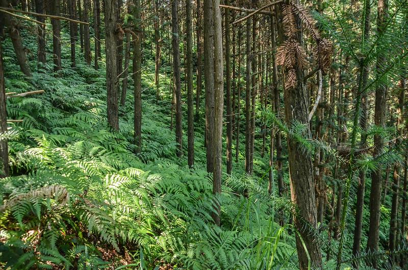 南庄山杉林小徑林相