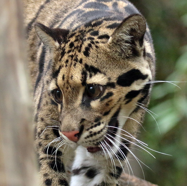 clouded leopard Ouwehand 094A0186