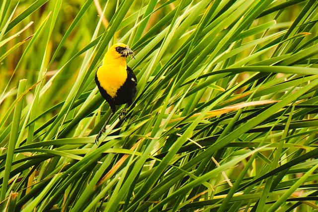 Yellow-Headed Blackbird In The Cattails