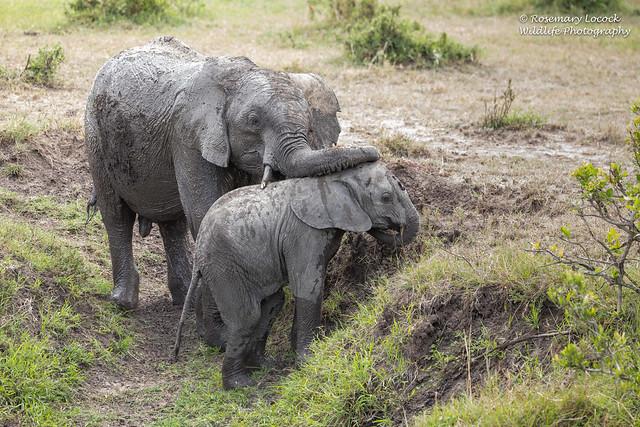 African Elephants - Loxodonta