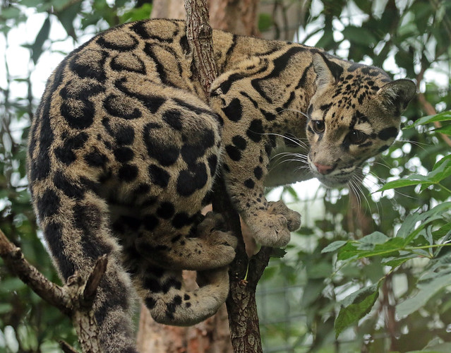 clouded leopard Ouwehand 094A0221