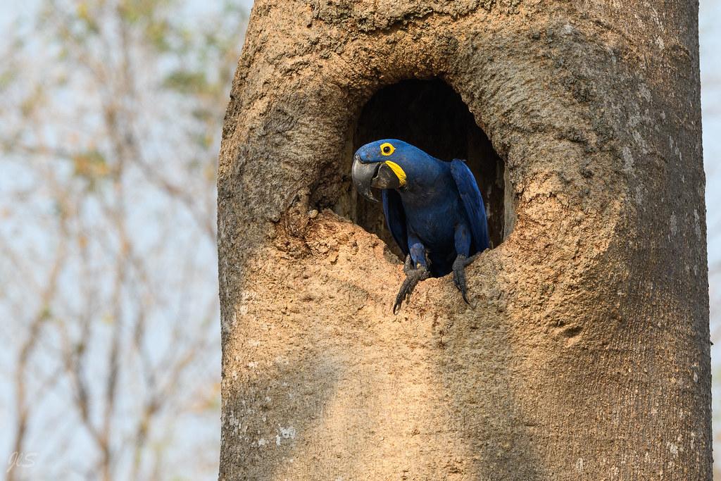 Hyacinth macaw in a tree, Ara hyacinthe dans un arbre