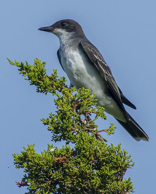 Mighty Eastern Kingbird sitting on a Cedar tree perch