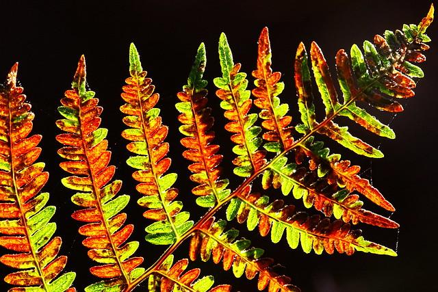 colourful backlit fern at Kite's Croft, Titchfield