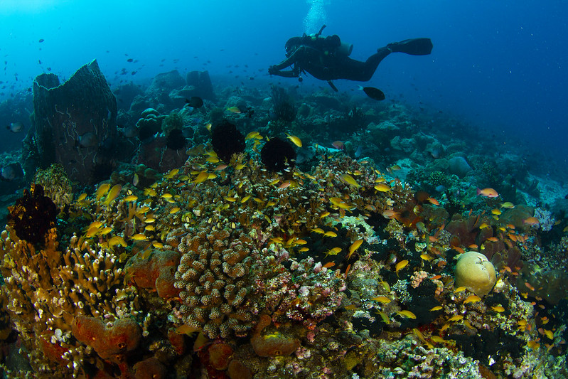 A diver swims above a healthy coral reef with lots of different fish swimming.