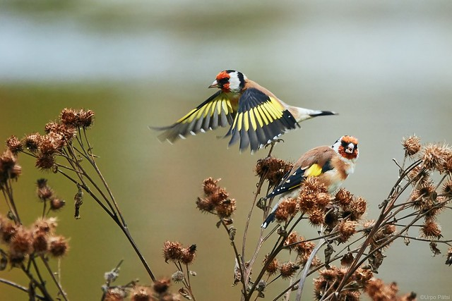 Tiklit - Goldfinches