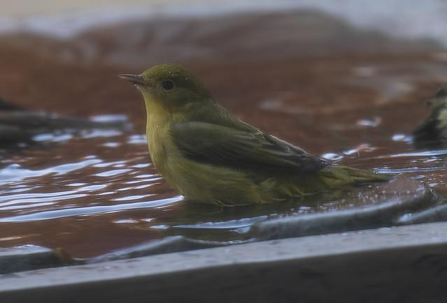 Yellow Warbler in my yard!!