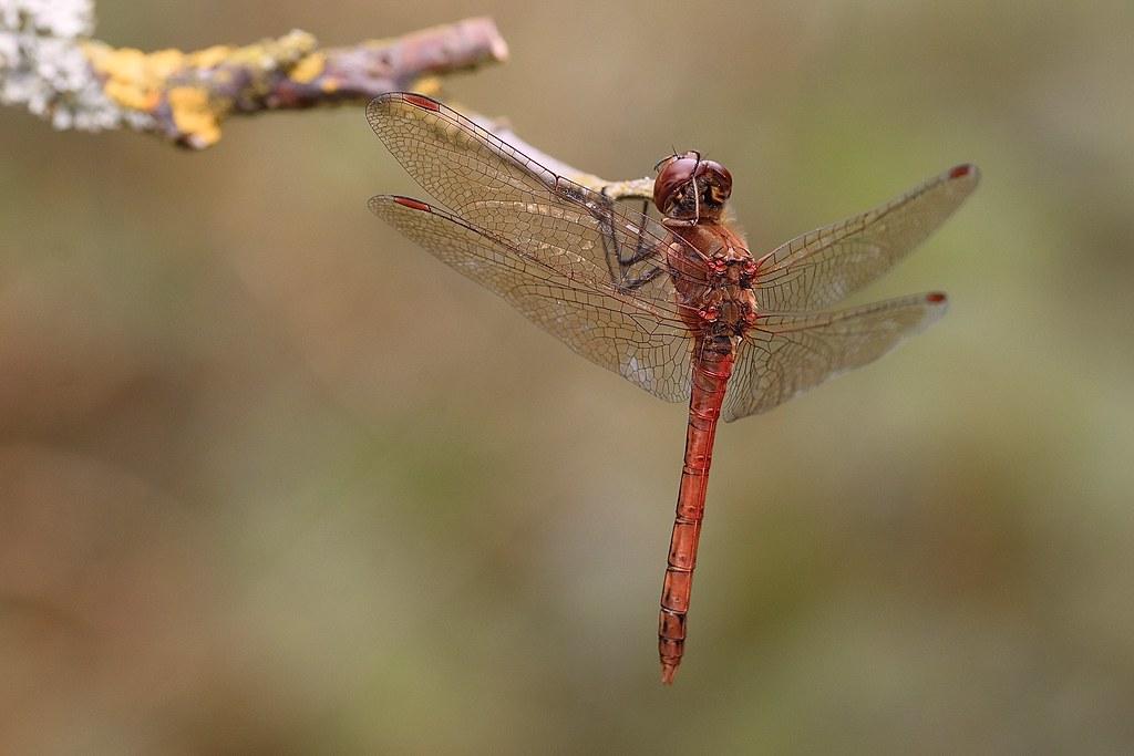 Common darter (M)Sympetrum striolatum)