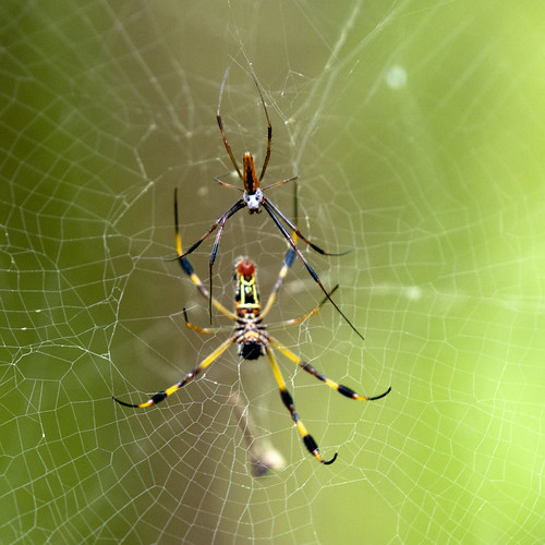 spider eos arachtober cullinanpark spiderweb goldensilkspider trichonepilaclavipes