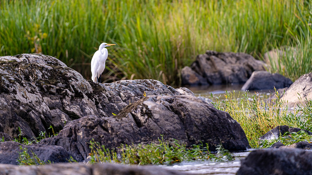 Egret on the Haw
