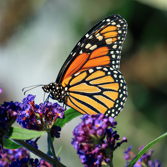 Buddleja and Monarch Butterfly