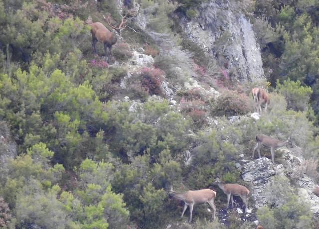 Cievos en Somiedo (Asturias) durante la berrea