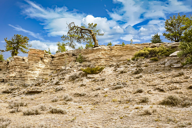 Limber Pines on the Cliffs