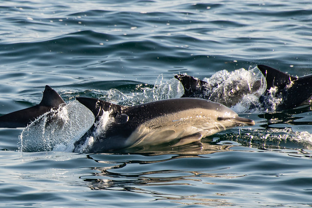 Short Beaked Common Dolphins