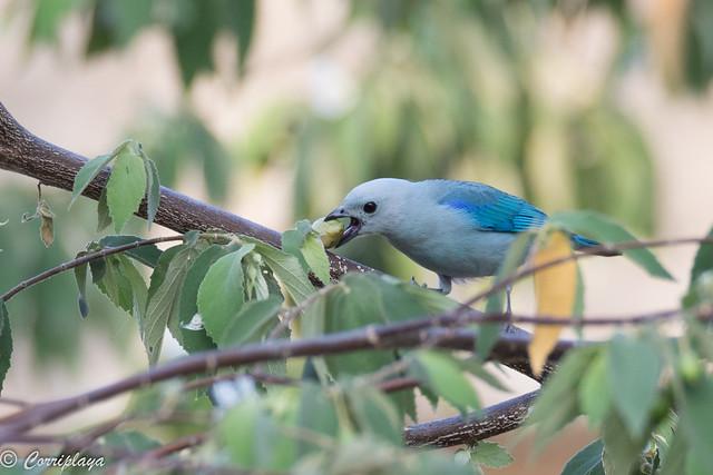 Tangara azuleja, tangara episcopus, Blue-grey tanager
