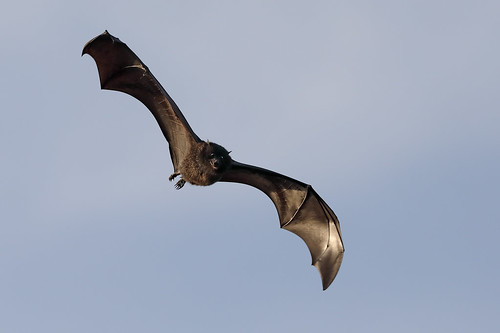 Black-eared Flying Fox - Christmas Island sub species (Pteropus melanotus)