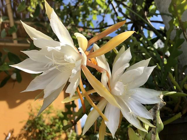 Happy sunshine ☀️😍 Epiphyllum anguliger