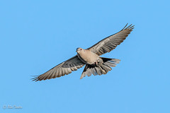 Uncollared Dove :)