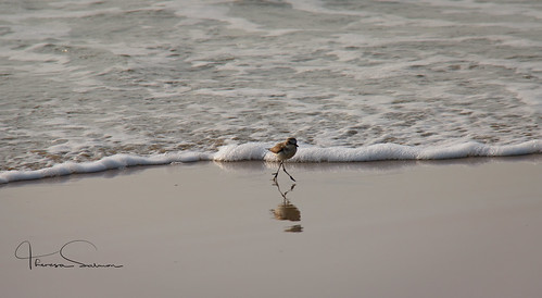 plover cavelossim beach,Goa