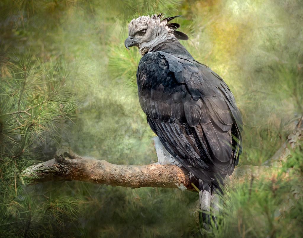 Portrait of a Harpy Eagle