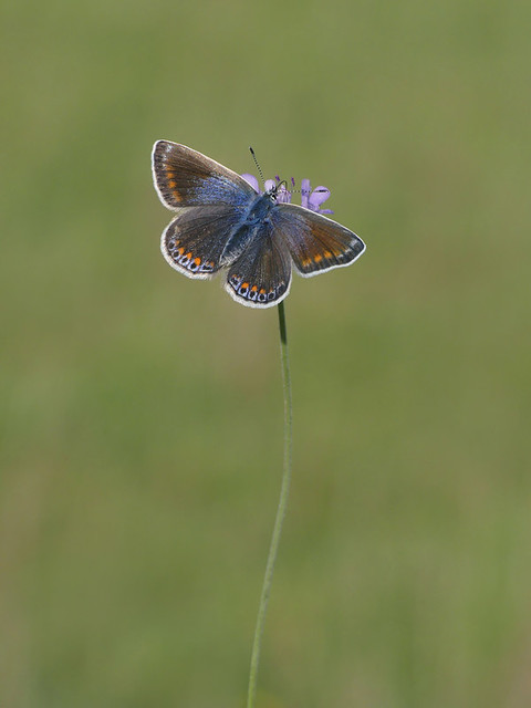 Female Common Blue Butterfly (3rd brood). No cropping.