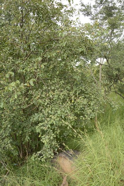 Anogeissus latifolia (2)