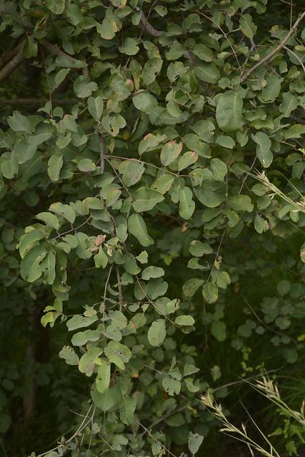 Anogeissus latifolia (1)