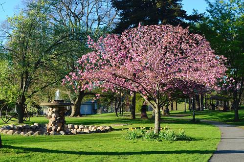 sunset cherrytree spring 2019 nikond5100 heckscherpark huntington longisland newyork prunuskanzan kanzan floweringtrees april
