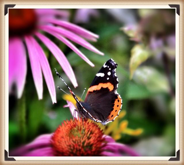 Toronto Ontario ~ Canada ~ Edwards Gardens ~ Botanical Garden -Monarch Butterfly