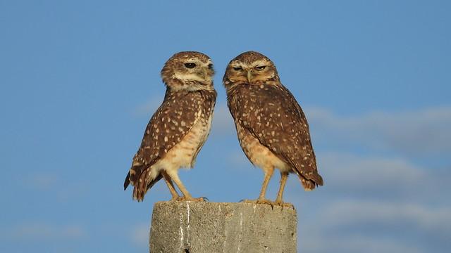 Coruja-buraqueira - Burrowing Owl