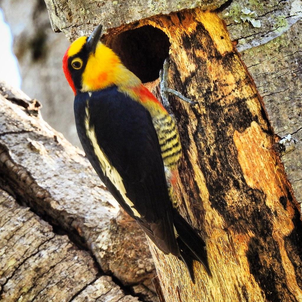 Benedito-de-testa-amarela (macho)