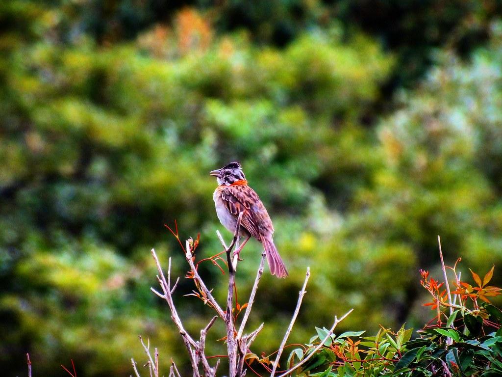 Tico-tico/ Rufous-collared Sparrow