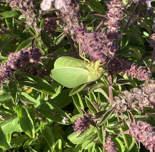 australia queensland toowoomba cicada bladder green cystosoma