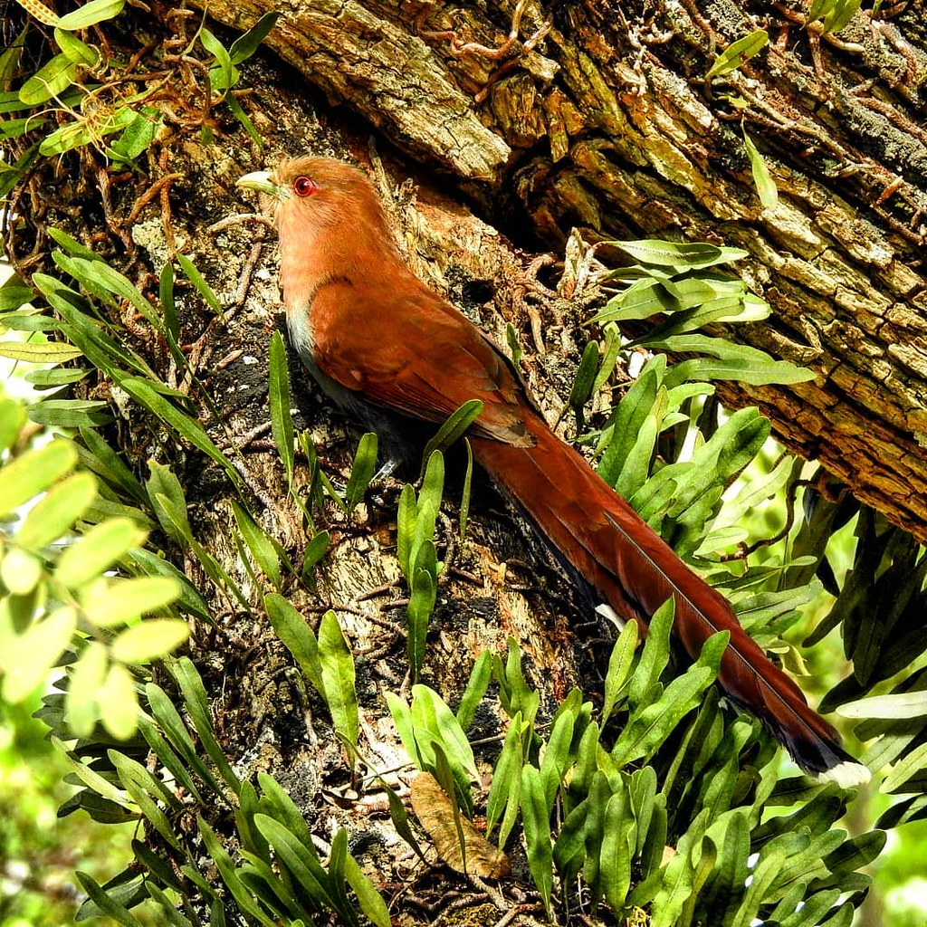 Alma-de-gato/ Squirrel Cuckoo